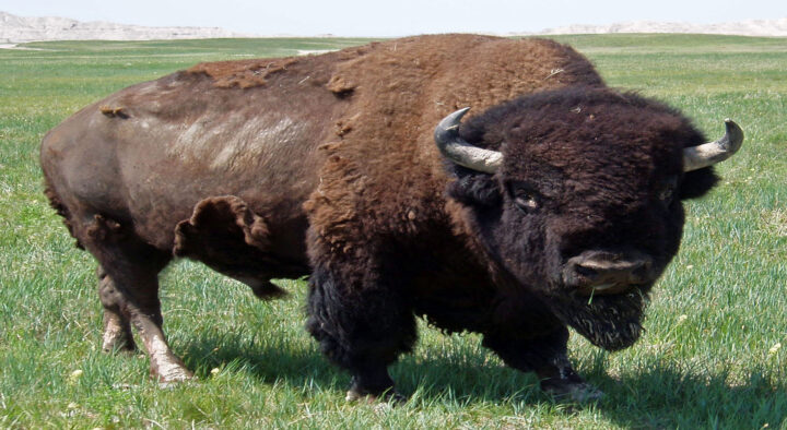 Buffalo Blogs: Breeding Season & the New Normal