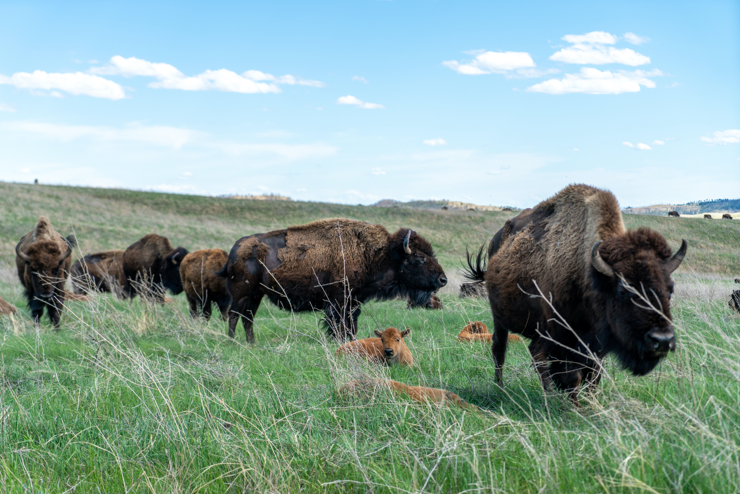 Tanka Fund's Regranting is Restoring Buffalo to Native Lands — and You Can Support the Return