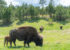 National Bison Day & Supporting the Return