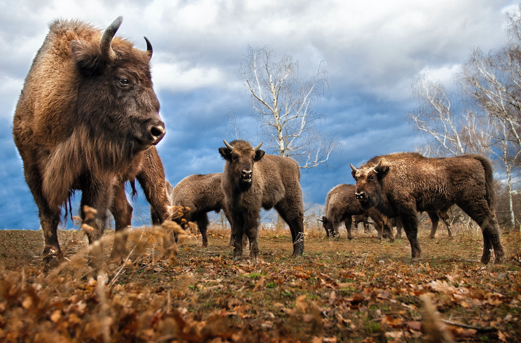 Feel the Thunder Within You: Restoration of the Buffalo Nation